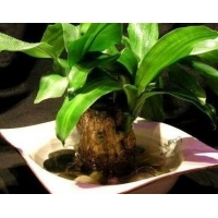 人们**爱的室内绿色植物——巴西木